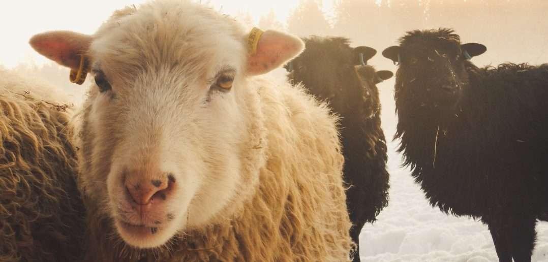 Černá ovce